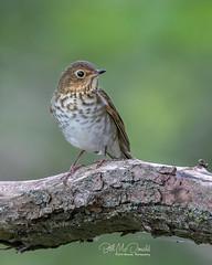 Swainson's Thrush (Bill McDonald 2016) Tags: billmcdonald swainsonsthrush ontario canada perched tree perching burlington bird avian naturephtography canon