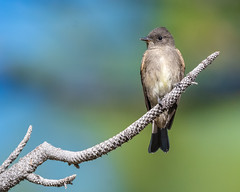Western Wood-Pewee (ssiegel16) Tags: flycatcher galenacreek washoecountynevada westernwoodpewee