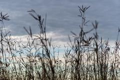 Prairie Grass (ramseybuckeye) Tags: prairie grass sky kendrick woods allen county ohiio