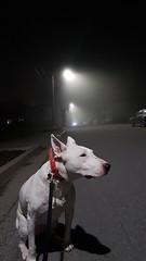 Fog and Dog (Coastal Elite) Tags: dog fog chien perro halifax novascotia 狗 night nightshot 犬 dogs chiens 개 animal pet street middle dark wet rain rainy foggy canada bullterrier pitbull snapchat snap sitting light lamppost