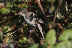 Eastern Olivaceous Warbler (iduna pallida) (mrm27) Tags: warbler olivaceouswarbler easternolivaceouswarbler iduna idunapallida farlington farlingtonmarshes hampshire