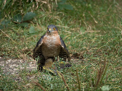 Sparrowhawk v Greenfinch (Nanooki) Tags: europe england horsham location naturalworld sussex unitedkingdom warnham warnhamnaturereserve accipiternisus birds sparrowhawk