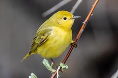 Yellow Warbler (Gf220warbler) Tags: idaho parulidae warbler passerine songbird migrant