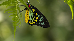 Cairns Birdwing Butterfly (Greenstone Girl) Tags: butterfly cairns birdwing ornithopteraeuphorion