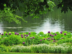Green Days of Summer (Cher12861 (Cheryl Kelly on ipernity)) Tags: green summer landscape water chicagobotanicgarden glencoeillinois june2018 leaves alium purple nature beauty