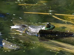 Taking a break (EcoSnake) Tags: americanbullfrog lithobatescatesbeiana frogs amphibians water wildlife september idahofishandgame naturecenter