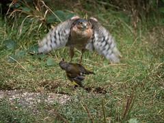 Sparrowhawk v Greenfinch (Nanooki) Tags: europe england horsham location naturalworld nikdefine sussex unitedkingdom warnham warnhamnaturereserve accipiternisus birds sparrowhawk