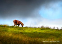 Grazing lone wild horse (Ade Ward Phototherapy.) Tags: cymru grass hills mountains outdoors nikon naturewildlife sky clouds scenery landscape wales nationalpark breconbeacons wildhorse lonehorse