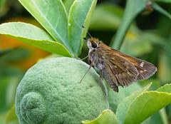 skipper on trifoliate orange 2 (foxtail_1) Tags: panasonicg85 panasoniclumixg85 olympus60mmmacro hahnhorticulturegarden trifoliateorange poncirustrifoliata skipperbutterfly skipper