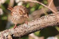Song Sparrow (mnolen2) Tags: sparrow song bird nature wildlife
