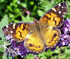 American Lady (adamantine) Tags: butterfly americanlady nymphalidae vanessavirginiensis insect massachusetts