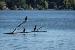 Out on a Limb (Explored) (lclower19) Tags: hornpond woburn massachusetts cormorants birds limb branch water three explored
