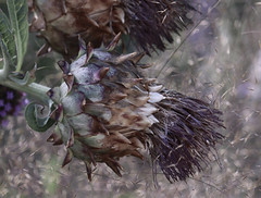 Seasons, Fall. (Robin Wechsler) Tags: plant thistle purplethistle flower garden fall