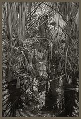 Lake Woodruff NWR IR #1 2019; Cypress Swamp with Palms (hamsiksa) Tags: florida wetlands swamps cypressswamps saintjohnsriversystem plants flora aquatics submerged cypress baldcypress taxodiumdistichum conifers palms palmae sabalpalm cabagepalm sabalpalmetto water reflections duckweed lemnaspecies blackwhite landscape infrared digitalinfrared