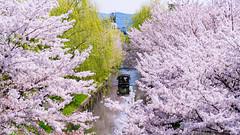 FAI04359 (FAIWU) Tags: 日本 japan 近畿 京都府 京都 kyoto 桜 cherryblossoms 櫻花 sakura spring 春 伏見 きみのすいぞうをたべたい 君の膵臓をたべたい 伏見であい橋 伏見十石舟 十石舟