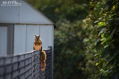 On The Fence (Hi-Fi Fotos) Tags: sigma 18250 nikon d7200 dx squirrel animal backyard fence snack eating nuts sitting seat timeout munch hififotos hallewell