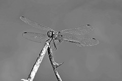 A Monochrome Meadowhawk (Eat With Your Eyez) Tags: monochrome blackandwhite black and white bw b w meadowhawk dragonfly odonate odonada insect bug fly flying wing wings eye eyes head animal panasonic fz1000 close up closeup bokeh tattered