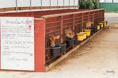 Calves at Creamy Acres Farm (Jersey Camera) Tags: calf calves creamyacres creamyacresfarm