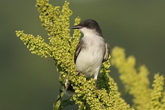 Eastern Kingbird (kristy324) Tags: kingbird bird pits memphis tennessee wildlife nature fauna canon