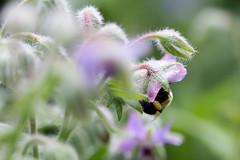 IMG_2421-1 (ljohn50014) Tags: 2019 bees borage flowers garden bokeh canon7d
