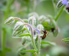 IMG_2419-1 (ljohn50014) Tags: 2019 bees borage flowers garden bokeh canon7d