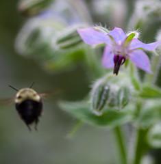 IMG_2399-1 (ljohn50014) Tags: 2019 bees borage flowers garden bokeh canon7d