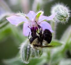 IMG_2396-1 (ljohn50014) Tags: 2019 bees borage flowers garden bokeh canon7d