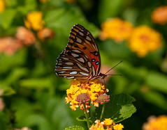 Butterfly in the flowers (SusieMSB7) Tags: butterfly nature flowers garden colours