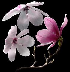 Magnolia Trio (Pixel Fusion) Tags: nature nikon flora flower aperture macro d600 photoshop magnolia