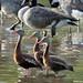 whistling ducks 2