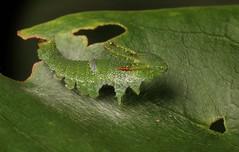 "Early Instar Great Nawab Butterfly ""Dragonhead"" Caterpillar (Charaxes (Polyura) eudamippus, Charaxinae, Nymphalidae) (John Horstman (itchydogimages, SINOBUG)) Tags: insect macro china yunnan itchydogimages sinobug entomology canon green butterfly lepidoptera caterpillar larva dragon dragonhead charaxinae nymphalidae nawab"