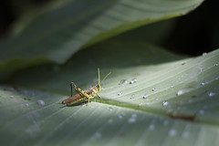 Bird Grasshopper (SereneHoundStudio) Tags: grasshopper resting leaf waterdroplets shining spotlight nature photography bird