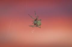 Spider against the sunset (maltman_john) Tags: california sunset spider macro nikkor 105mm nikon d5300 insect garden nature