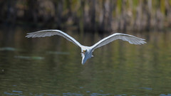 Egret 9155 (Paul McGoveran) Tags: bif bird birdinflight egret hendrievalley nature nikon500mmf4 nikond500 nikond850 white