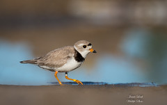 Piping Plover (Jamie Lenh Photography) Tags: nature wildlife birds shorebirds plover pipingplover nikon tamron beach sand water summer ontario canada jamielenh