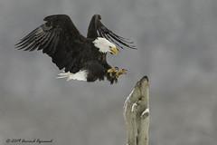 IMG_4948-1 (arvind agrawal) Tags: eagle baldeagle haliaeetusleucocephalus raptor birdofprey wildlife bird haines alaska canon eos1dx 1dx ef 600mm arvindagrawal