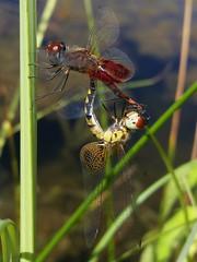 Amanda's Pennants (rstickney37) Tags: odonata odonate dragonfly northcarolinaodonates northcarolinadragonflies