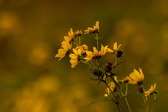 Coreopsis 09.13.2019.02 (nwalthall) Tags: coreopsis