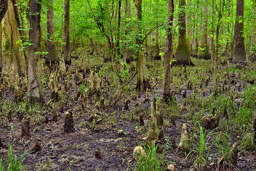 The Outside Styles of Trees (Congaree National Park)