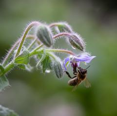 IMG_2479-1 (ljohn50014) Tags: 2019 bees borage flowers garden bokeh canon7d