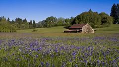 Camas Lilies Barn 4825 A (jim.choate59) Tags: jchoate on1pics camaslilies flower field barn rural ruraldecay springtime landscape oregon
