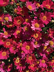 Catching the sun today. (The Pocket Rocket) Tags: daises oceangrove victoria australia 100flowers2019 image63100