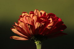 Flower (historygradguy (jobhunting)) Tags: easton ny newyork upstate washingtoncounty flower plant zinnia