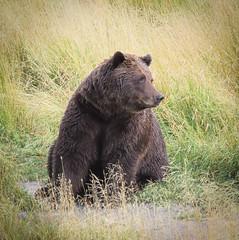 North American Brown (Grizzly) Bear- Portrait-2 (Lee J2) Tags: grisslybear ursusactos northamerican brownbear carnivor alaska anchorage