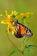 Monarch (Eric Tischler) Tags: butterfly monarch summer feeding yellow flower delicate