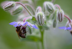 IMG_2474-1 (ljohn50014) Tags: 2019 bees borage flowers garden bokeh canon7d