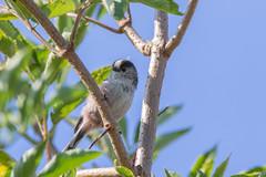 Longtailed Tit (maf863) Tags: canon7dmk2 canon 7dmk2 sigma150600 sigma welney wwt bird wildlife welneywwt tit longtailed