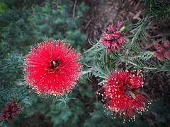 Callistemon - Australia (rosgloryfire) Tags: redflower macro botanical flower callistemon blossum buds blooming vibrant plant nature flora floral garden petals