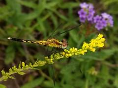 Little Blue Dragonlet female (rstickney37) Tags: odonata odonate dragonfly northcarolinaodonates northcarolinadragonflies