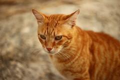 IMG_3957 Rubio, Mallorca (Fernando Sa Rapita) Tags: mallorca sarapita rubio cat gato mascota pet retrato portrait ginger gingercat bokeh swirlybokeh canon canoneos eos6d helios helios44m helios44m58
